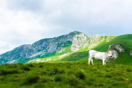 Photo pour Vache blanche debout sur la vallée verte dans le massif de Durmitor, Monténégro - image libre de droit