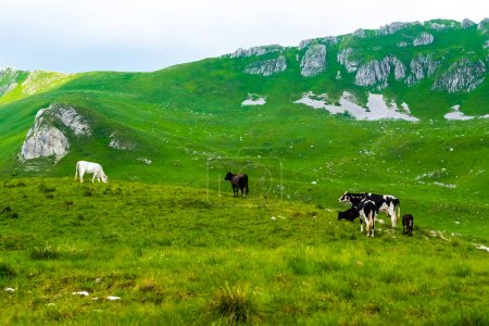 cows grazing on green pasture in Durmitor massif, Montenegro