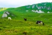 cows grazing on green pasture in Durmitor massif, Montenegro
