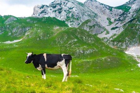Photo pour Pâturage de vaches dans la vallée verte du massif de Durmitor, Monténégro - image libre de droit