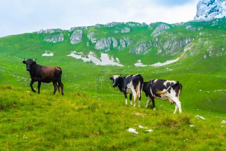 cows grazing on green valley in Durmitor massif, Montenegro