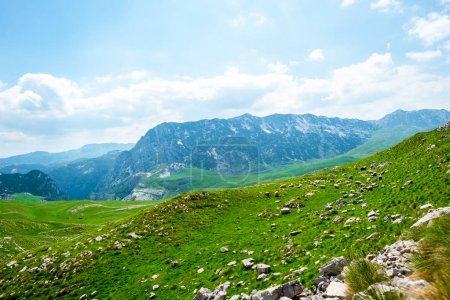 flock of sheep grazing on green valley in Durmitor massif, Montenegro