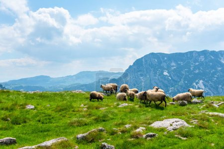 flock of beautiful sheep grazing on valley in Durmitor massif, Montenegro