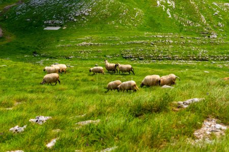 flock of sheep grazing on valley in Durmitor massif, Montenegro