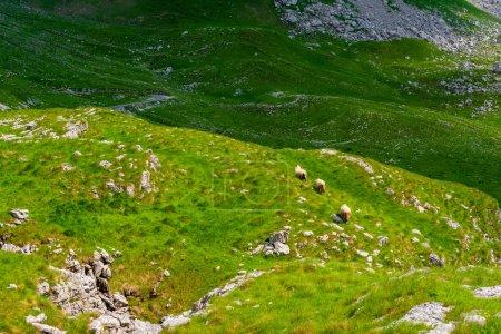 Photo pour Trois moutons marchant sur la vallée dans le massif de Durmitor, Monténégro - image libre de droit