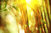Bamboo forest. Growing bamboo over blurred sunny background. Nat