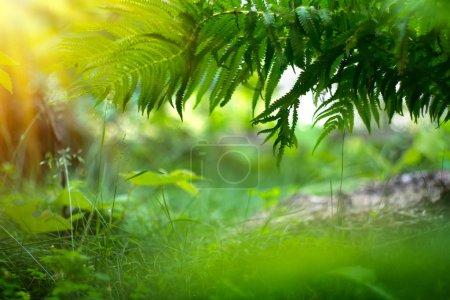 Farne wachsen im Sommergarten. grüne Farnblätter über verschwommenem Gras