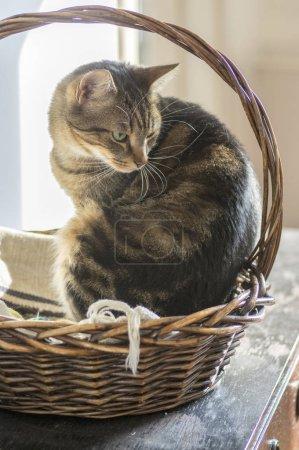 Photo pour Chat en marbre domestique relaxant dans le panier d'osier en bois, contact avec les yeux - image libre de droit