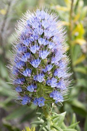 Photo pour Echium candicans bouquet de petites fleurs rouges bleues sur la tige - image libre de droit