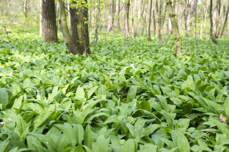 Photo for Magic nature place full of wild bear garlic, green leaves background - Royalty Free Image