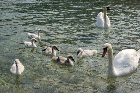 Adult swans and swan children on Lago di Garda lake, Italy, happy bird family