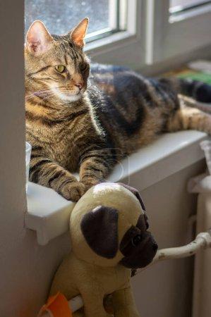 Faule Hauskatze entspannt sich auf weißer Fensterbank bei Tageslicht, sehr ernster Gesichtsausdruck, plus Hund