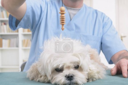 Alternative medicine therapist or vet using pendul...