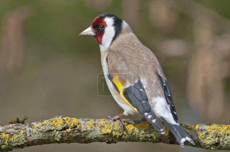 European Goldfinch or Goldfinch Carduelis carduelis bird