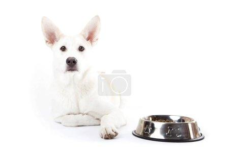 White mixed breed dog lying near dog plate