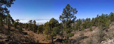panoramic view on pine trees in Corona Forestal Nature Park, Canary Islands, Spain, Europe