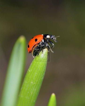 European Seven Spot Ladybird on grass, Coccinella septempunctata
