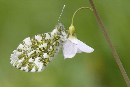 Orange Tip, Anthocharis cardamines female on Cuckoo Flower or Ladys Smock, Cardamine pratensis