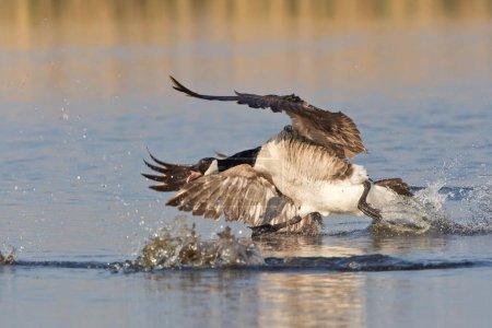 Canada Goose, Branta canadensis chasing rival