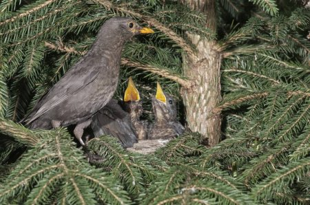 Blackbird female perched on nest with nestlings