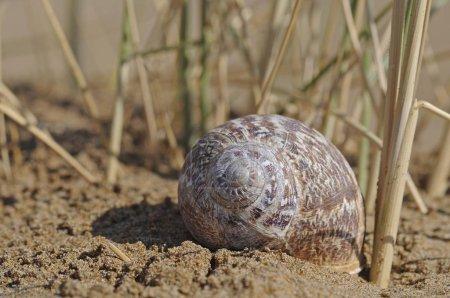 Photo for White Garden Snail or Mediterranean Coastal Snail (Theba pisana), snail shell in the sand, Georgioupolis, Crete, Greece, Europe - Royalty Free Image