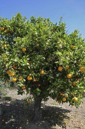 Photo for Orange Trees (Citrus  sinensis) in a plantation, Majorca, Balearic Islands, Spain, Europe - Royalty Free Image