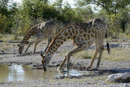 Giraffes drinking at a waterhole, Etosha National Park, Namibia, Africa
