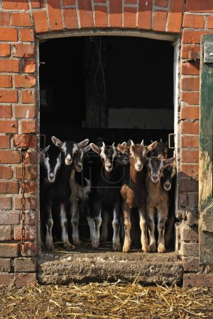 Photo for Goatlings or kids looking out a barn door on an organic farm, Othenstorf, Mecklenburg-Western Pomerania, Germany, Europe - Royalty Free Image