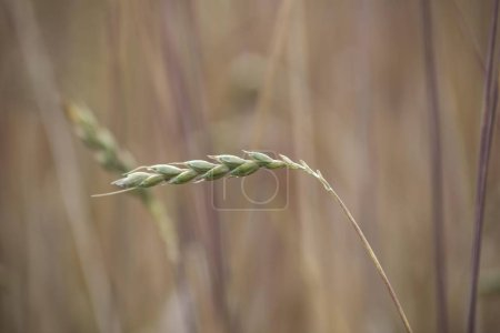 Photo for Ear of wheat in a grainfield, Upper Bavaria, Bavaria, Germany, Europe - Royalty Free Image