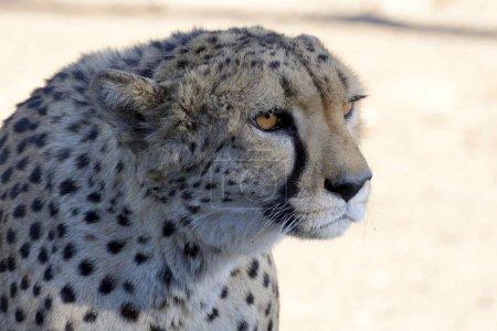 Photo pour Portrait d'animal guépard animale, Acinonyx jubatus - image libre de droit