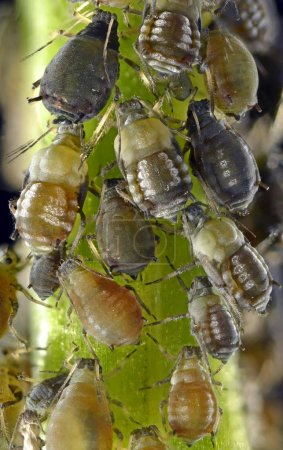 Photo for Aphids detailed macro shot view - Royalty Free Image