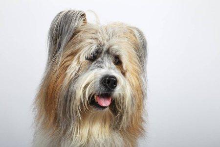 Photo pour Elo ou Great Elo race de chien, mâle, portrait, Allemagne, Europe - image libre de droit