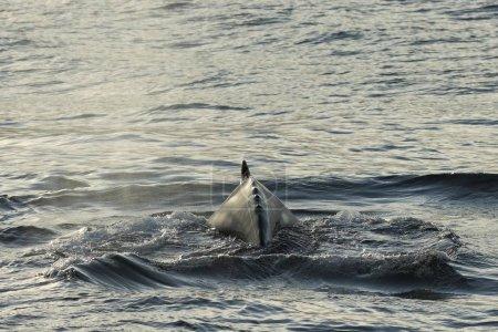 Photo pour Rorqual à bosse à la surface de l'eau gros plan - image libre de droit