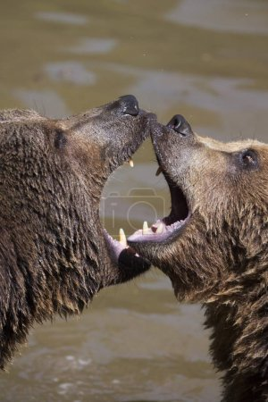 two Brown Bears at wild nature