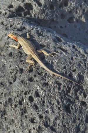 Photo for Galpagos Lava Lizard (Microlophus albemarlensis), Galpagos - Royalty Free Image