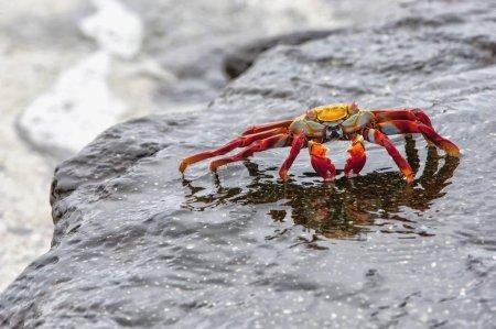 Photo pour Crabe commun (Grapsus grapsus), Galpagos - image libre de droit