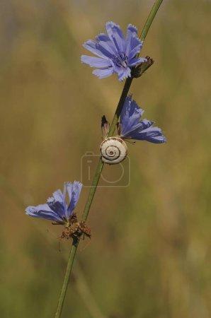 Photo pour Coquille d'un escargot hélicoïdal (Helicidae) attaché à un bouton de bleuet sauvage ou de baccalauréat (Centaurea cyanus), Crète, Grèce, Europe - image libre de droit