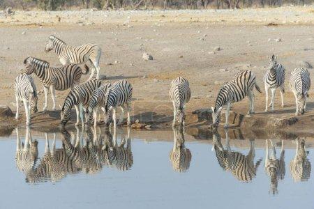 Foto de Manada de cebra cerca atomar en África - Imagen libre de derechos