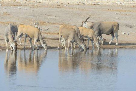 Foto de Manada de Eland bebiendo, elands, agujero del agua Chudop, Parque Nacional de Etosha, Namibia, África - Imagen libre de derechos