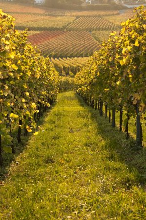 Photo for Autumn in the vineyard, Groheppach, Baden-Wrttemberg, Germany, Europe - Royalty Free Image