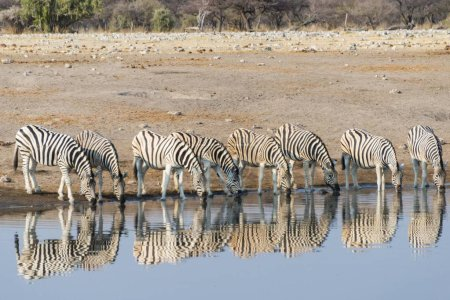 Photo for Burchell's Zebras reflection of herd whilst drinking at the Chudop waterhole, Etosha National Park, Namibia, Africa - Royalty Free Image