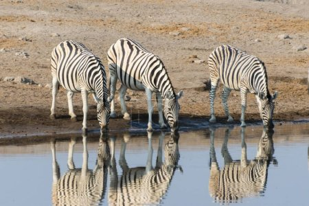 Photo for Burchell's Zebras reflection of three zebras whilst drinking at the Chudop waterhole, Etosha National Park, Namibia, Africa - Royalty Free Image