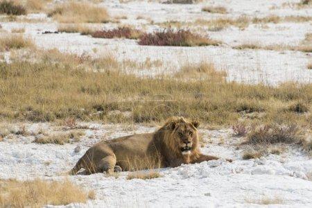 Photo pour Lion mâle lion au repos avec un estomac plein sur le bord du Etosha Chott, parc National d'Etosha, Namibie, Afrique - image libre de droit