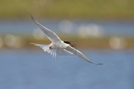 Photo pour Sterne pierregarin en vol au-dessus d'une colonie de nidification, Pays-Bas - image libre de droit