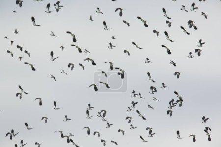 Photo pour Northern Lapwings (Vanellus vanellus) en vol, réserve naturelle Bislicher Insel, Rhénanie-du-Nord-Westphalie, Allemagne, Europe - image libre de droit