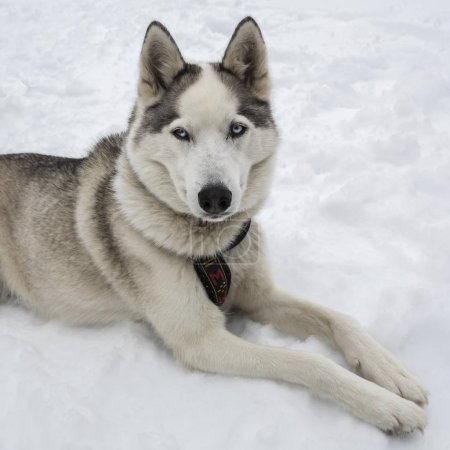Photo for Siberian Husky close up view - Royalty Free Image