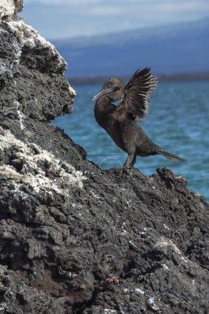 Photo pour Cormoran sans vol (Phalacrocorax harrisi), baie Elisabeth, île Isabela, Galapagos, Équateur, Amérique du Sud - image libre de droit
