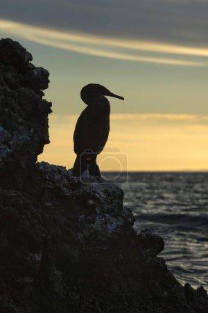 Photo pour Cormoran sans vol (Phalacrocorax harrisi) au crépuscule, baie Elisabeth, île Isabela, Galapagosinseln, Équateur, Amérique du Sud - image libre de droit