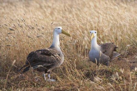Photo pour Albatros agités, Île Espaola, Galapagosinseln, Équateur, Amérique du Sud - image libre de droit