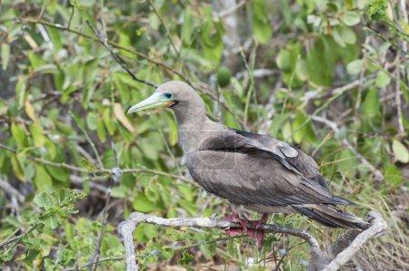 Photo pour Booby à pieds rouges (Sula sula) dans la mangrove rouge, île de Genovesa, Galapagos, Équateur, Amérique du Sud - image libre de droit